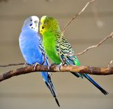 Två parakiter Royaltyfria Bilder