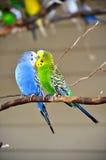 Två parakiter Fotografering för Bildbyråer