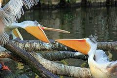 Två pelikan Arkivfoto