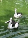 Två pelikan Royaltyfria Foton