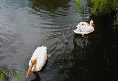 Två pelikan grälar och simmar till motsättande riktningar royaltyfri foto