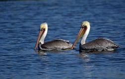 Två pelikan i floden San Juan royaltyfri foto