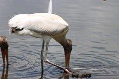 Två pelikan på Gatorland Arkivbilder