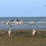 Två pelikan på stranden Fotografering för Bildbyråer
