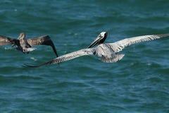 Två pelikan som glider över golfen av Mexico i Florida Royaltyfri Fotografi