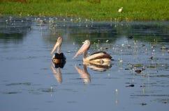 Två pelikan som simmar bredvid varje annan i den Yellow River kakadunationalparken Australien Arkivbild