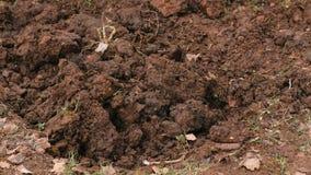 Två personer gräver jordningen med skyfflar Närbildskyfflar stock video