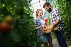 Två personer väljer mot efterkrav upp skörden av tomaten i växthus royaltyfria foton