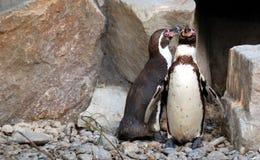 Två pingvin Fotografering för Bildbyråer