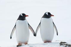 Två pingvin Gentoo. Arkivfoton