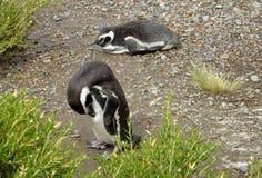 Två pingvin i buskarna Arkivfoton
