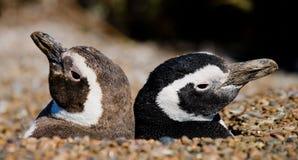 Två pingvin i ett hål rolig bild arenaceous Halvö Valdes Arkivbild