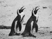 Två pingvin i Sydafrika royaltyfria bilder