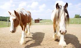 Två Pintohästar som tillsammans går Royaltyfria Bilder