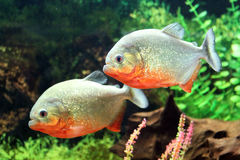 Två piranhas royaltyfri bild