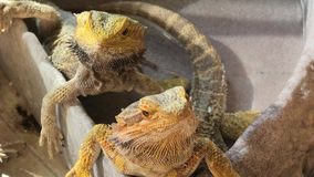 Tv? Pogona Vitticeps i vattnet stock video