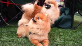Två Pomeranian hundkapplöpning på en gå arkivfilmer