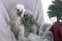 Två Poodles på jul Arkivfoto
