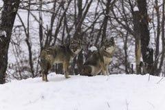 Två prärievargar i ett vinterlandskap Arkivbilder