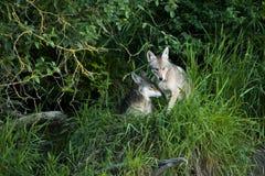 Två prärievargar som kelar gulliga djur Fotografering för Bildbyråer