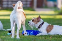 Två präst Russell Terrier på ängen Royaltyfria Foton