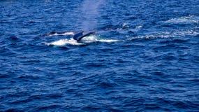 Två puckelryggval som simmar 2 Arkivfoto