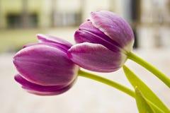 Två purpura tulpan Arkivbild