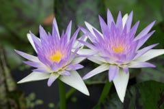 Två purpurfärgade lotusblommablommor på gröna blad Arkivbilder