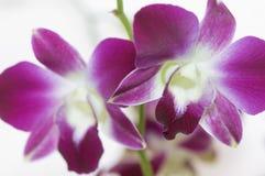 Två purpurfärgade orchid_near Royaltyfri Foto