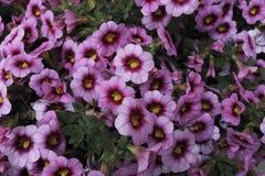 Två purpurfärgade petuniablommor för signal Arkivfoto