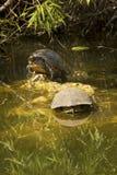 Två röd-buktade cootersköldpaddor i evergladesna av Florida Arkivbild