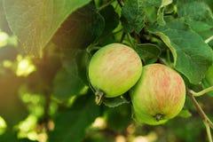 Två röd-gräsplan äpplen på en frunch av ett träd i en trädgård Fotografering för Bildbyråer