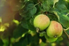 Två röd-gräsplan äpplen på en frunch av ett träd i en trädgård Royaltyfri Fotografi