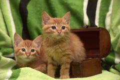 Två röd kattunge och ask Arkivbild