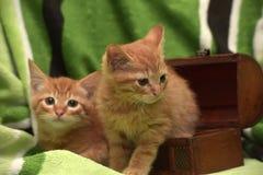 Två röd kattunge och ask Royaltyfri Fotografi