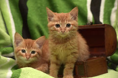 Två röd kattunge och ask Arkivbilder