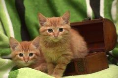 Två röd kattunge och ask Arkivfoton