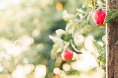 Två röda äpplen med grön bakgrund arkivfoto