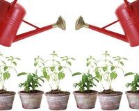 Två röda bevattna cans och växter i krukar Royaltyfri Fotografi