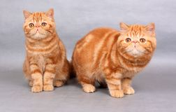 Två röda exotiska shorthairkattungar Royaltyfri Fotografi