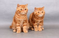 Två röda exotiska shorthairkattungar royaltyfri foto
