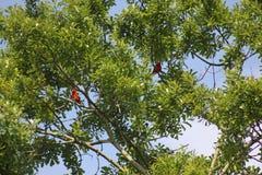 Två röda fåglar i ett träd royaltyfri bild