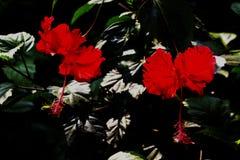 Två röda hibiskusblom Arkivfoton