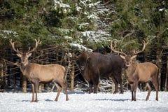 Två röda hjortar och en europé Bison Wisent Två män av en röd hjort i fokus och den stora bruna Bison Behind Them Out Of fokusen Royaltyfria Bilder