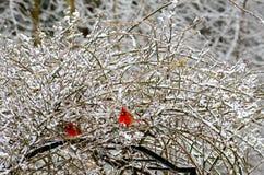 Två röda kardinaler på en snöig buske arkivfoto