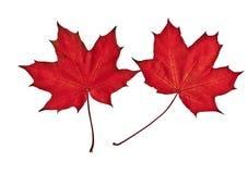 Två röda lönnlöv förläggas på en vit bakgrund Royaltyfri Foto