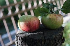 Två röda mogna saftiga äpplen ligger på en trästubbe med en lind på en solig sommardag royaltyfria bilder