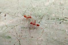 Två röda myror på sprucket konkret golv Arkivfoton