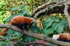 Två röda pandor på ett träd arkivbild