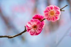 Två röda plommonblommor Fotografering för Bildbyråer